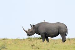 黑犀牛 库存图片