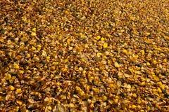 黄色在地面上的下落的秋叶 免版税库存图片