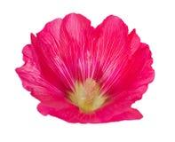 在白色的桃红色冬葵花 免版税库存照片