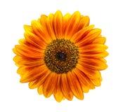 Солнцецвет изолированный на белой предпосылке Стоковые Изображения