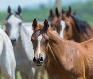 Κοπάδι των αλόγων που τρέχουν, αραβικά άλογα Στοκ Εικόνες