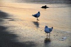 在日出的海鸥海滩 免版税库存照片
