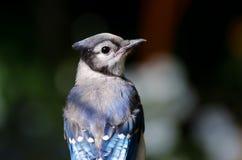 蓝色尖嘴鸟关闭 库存图片