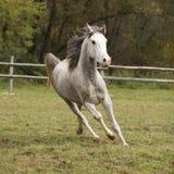 与飞行鬃毛的好的灰色阿拉伯公马 免版税库存图片