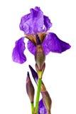 Ιώδης ίριδα λουλουδιών Στοκ Εικόνα