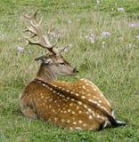 与夏天外套的小鹿 免版税库存照片
