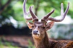 鹿顶头射击  库存图片