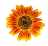 Солнцецвет изолированный на белой предпосылке Стоковое Изображение RF