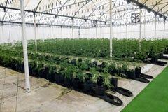 有水栽法的商业温室 免版税库存照片