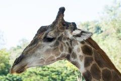 长颈鹿画象特写镜头  图库摄影