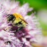 蜂蜜蜂宏观射击在蓝色花的。 免版税图库摄影