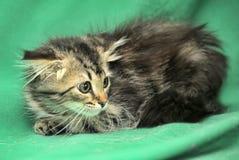 与害怕神色的小的西伯利亚小猫 免版税图库摄影