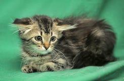 与害怕神色的小的西伯利亚小猫 免版税库存图片