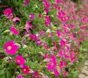 桃红色花五边形形状领域 免版税图库摄影