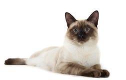 Сиамский кот Стоковые Изображения