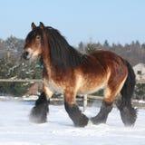 Голландская лошадь проекта при длинная грива бежать в снеге Стоковые Фотографии RF