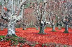 光秃的树干在秋天森林里 库存照片