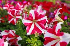 白色和桃红色喇叭花在庭院里,泰国。 免版税库存照片