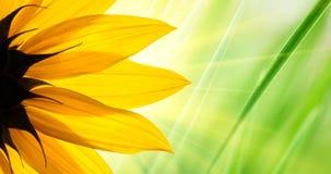 Λουλούδι ηλίανθων Στοκ Φωτογραφίες