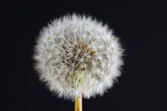 Семена одуванчика Стоковое Изображение