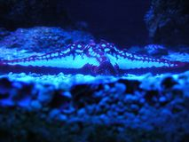 морская звезда Стоковая Фотография