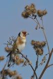 在植物名的欧洲金翅雀 免版税库存照片