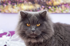 Όμορφη γκρίζα γάτα με τα μεγάλα κίτρινα μάτια Στοκ Εικόνα