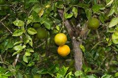 Апельсины сока Стоковые Фотографии RF