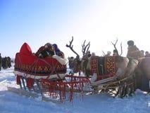 拉扯雪撬的驯鹿。国庆节。 库存图片