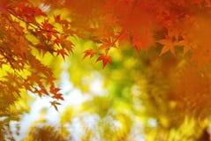 鸡爪枫叶子在五颜六色的秋天 免版税库存照片