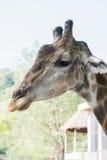 长颈鹿画象特写镜头  库存图片