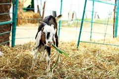 Коза есть траву Стоковое Изображение RF