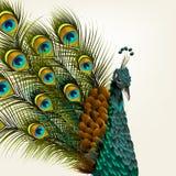 与传染媒介的逗人喜爱的背景详述了在白色的孔雀设计的 免版税库存图片