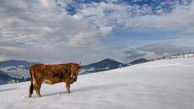 在雪的母牛在山顶部 免版税库存图片