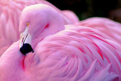 Чилийский фламинго Стоковое Фото
