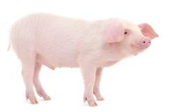 Свинья на белизне Стоковое фото RF