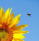 Солнцецвет и пчела Стоковые Изображения RF