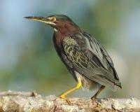 被栖息的绿色苍鹭 免版税库存图片