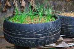 蔬菜栽培在老使用的轮胎罐 库存图片