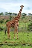 在大草原的野生长颈鹿 免版税库存照片
