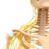女性身体神经系统  库存图片