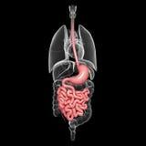容忍人解剖学有所有内脏的 库存照片