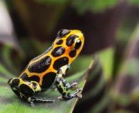 毒物箭头青蛙亚马逊雨林 库存图片