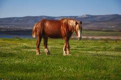 吃草在黎明的马 免版税库存图片