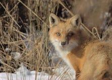 κόκκινο αλεπούδων Στοκ εικόνες με δικαίωμα ελεύθερης χρήσης