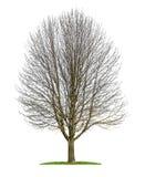 一棵被隔绝的欧洲七叶树树在冬天 免版税库存图片