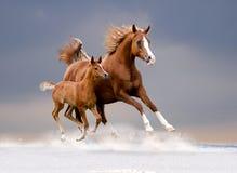 解救阿拉伯母马和驹在冬天领域 免版税库存图片