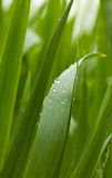 Падения росы на лезвиях травы хлопьев Стоковая Фотография