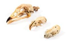 各种各样的鸟头骨 库存照片