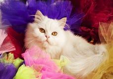Περσικό γατάκι Στοκ εικόνες με δικαίωμα ελεύθερης χρήσης